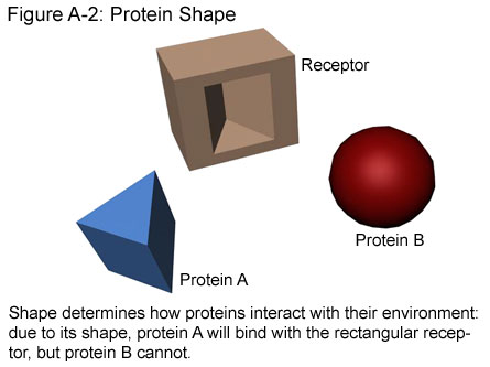 Fig A-2: Protein Shape