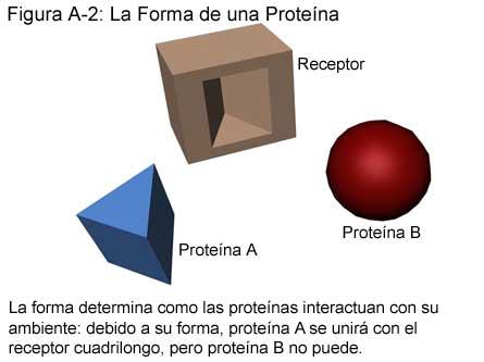 Fig A-2: La Forma de una Proteína
