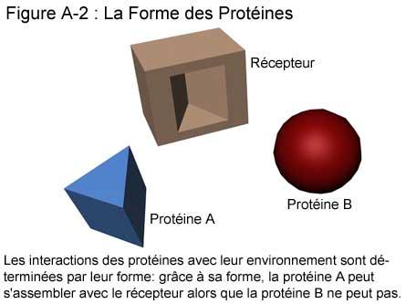 Fig A-2: La Forme des Protéines