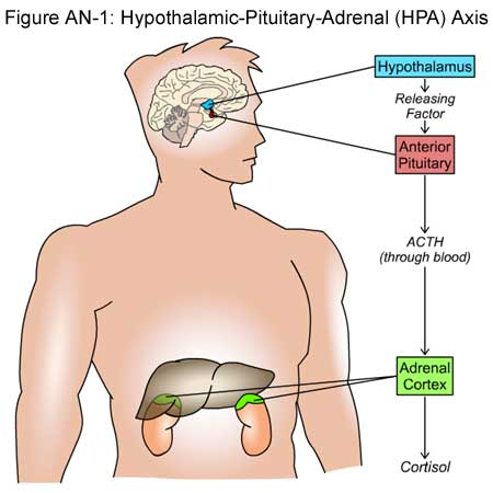 Fig AN-1: Hypothalamic-Pituitary-Adrenal (HPA) Axis
