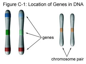 Fig C-1: Location of Genes in DNA