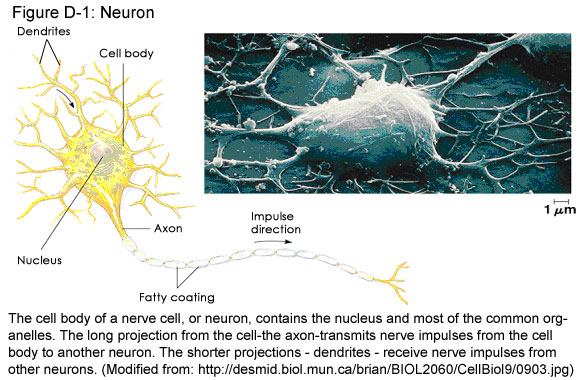 Fig D-1: Neuron