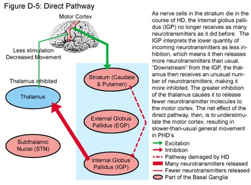 Fig D-5: Direct Pathway