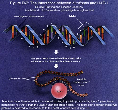 Fig D-7: The Interaction between Huntingtin and HAP-1