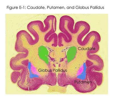 Fig E-1: Caudate, Putamen, & Globus Pallidus