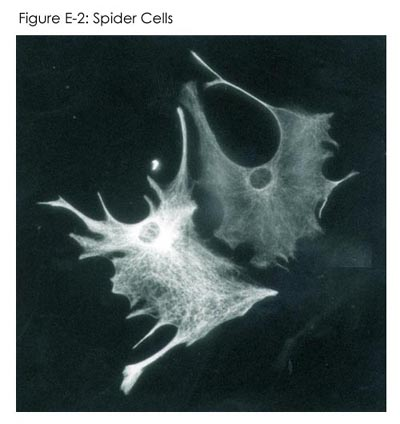 Fig E-2: Spider Cells