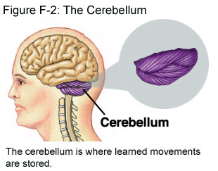 Fig F-2: The Cerebellum