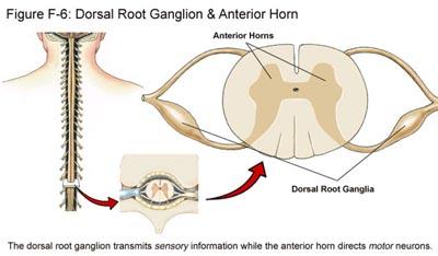 Fig F-6: Dorsal Root Ganglion & Anterior Horn