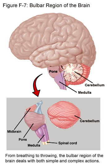 Fig F-7: The Bulbar Region of the Brain