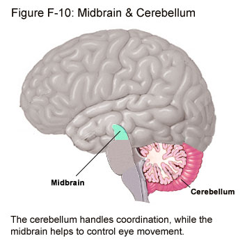 Fig F-10: Midbrain & Cerebellum