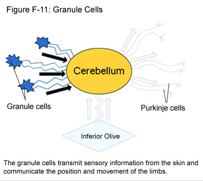Fig F-11: Granule Cells