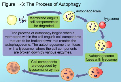 Fig H-3: The Process of Autophagy