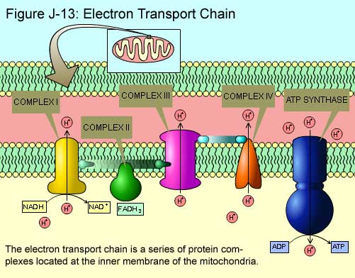 Fig J-13: Electron Transport Chain
