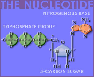 Fig P-3: The Nucleotide
