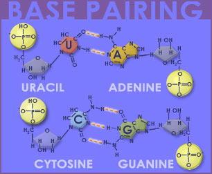 Fig P-5: Base Pairing