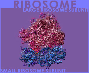 Fig P-6: The Ribosome