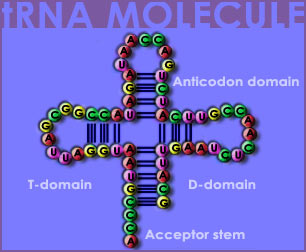 Fig P-8: The tRNA Molecule