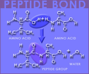 Fig P-12: Peptide Bonds