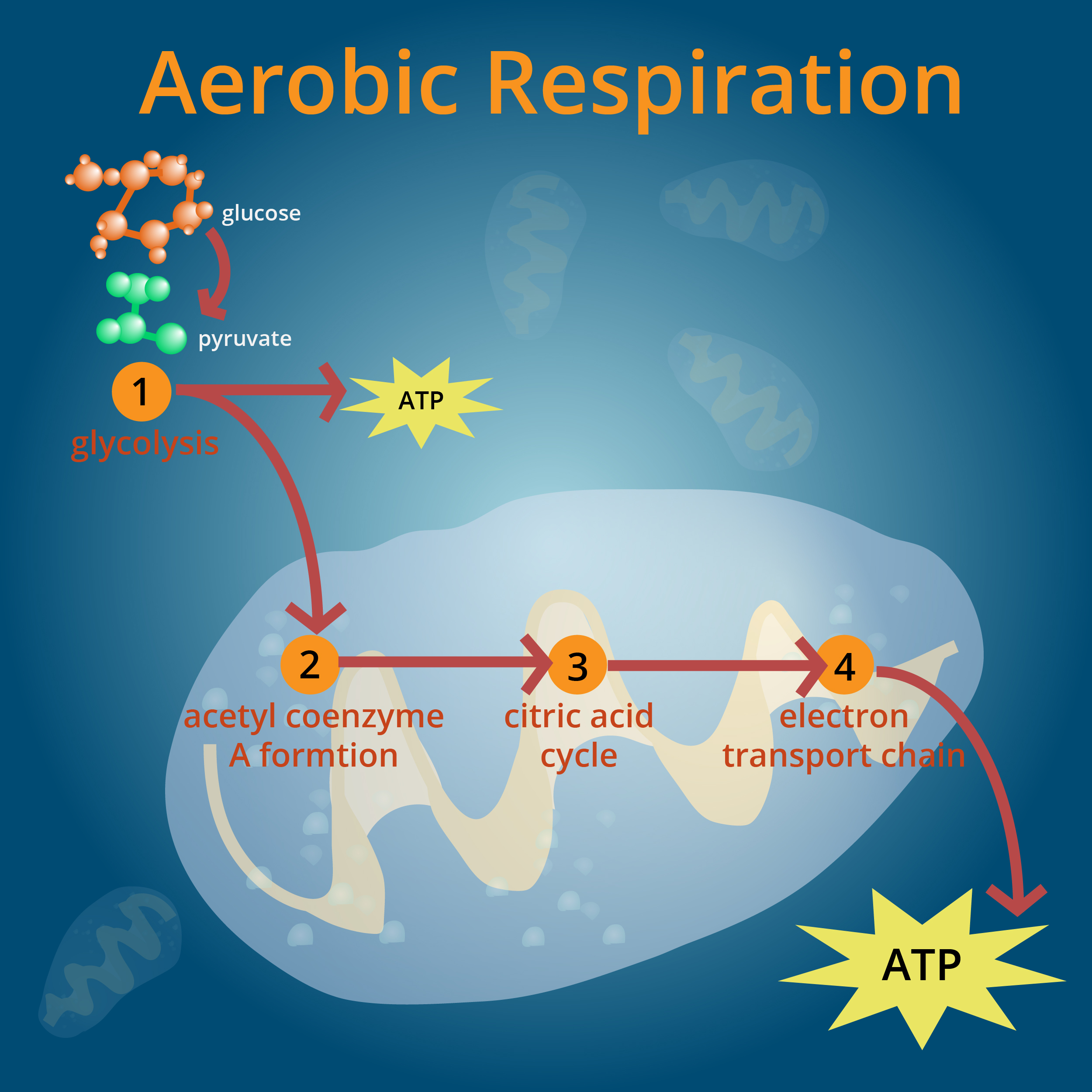 During Respiration Energy Is Derived From Aerobic