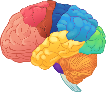 The HOPES Brain Tutorial (Text Version) - HOPES Huntington ...