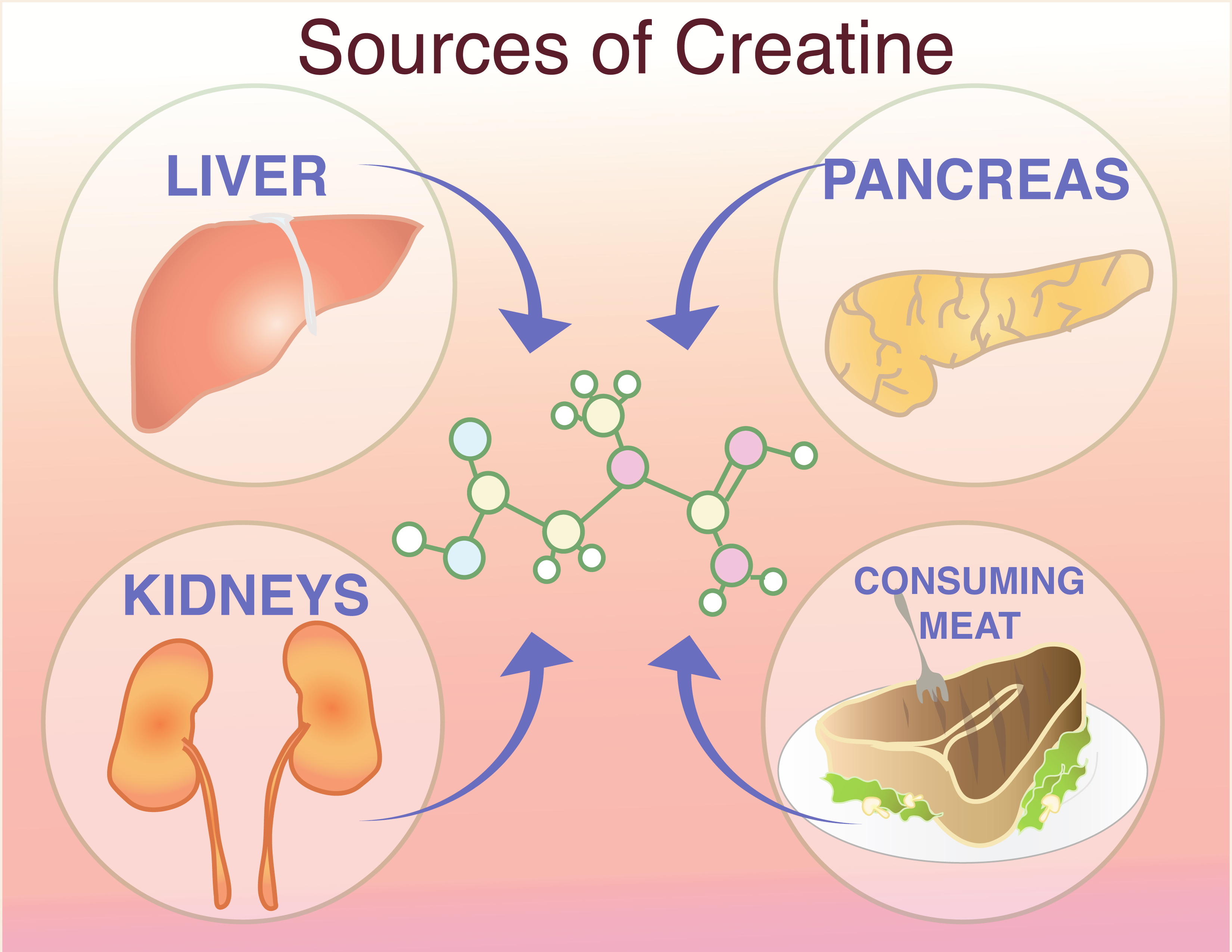During Respiration Energy Is Derived From Creatine