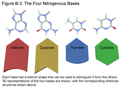 The nitrogenous bases are what make DNA variable. There are 4 different  types of bases in DNA:adenine, guanine, thymine, and cytosine.
