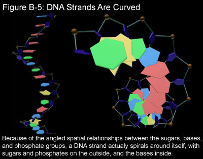how many dna molecules make up an unreplicated chromosome