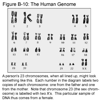 An Introduction To Dna And Chromosomes Text And Audio Hopes