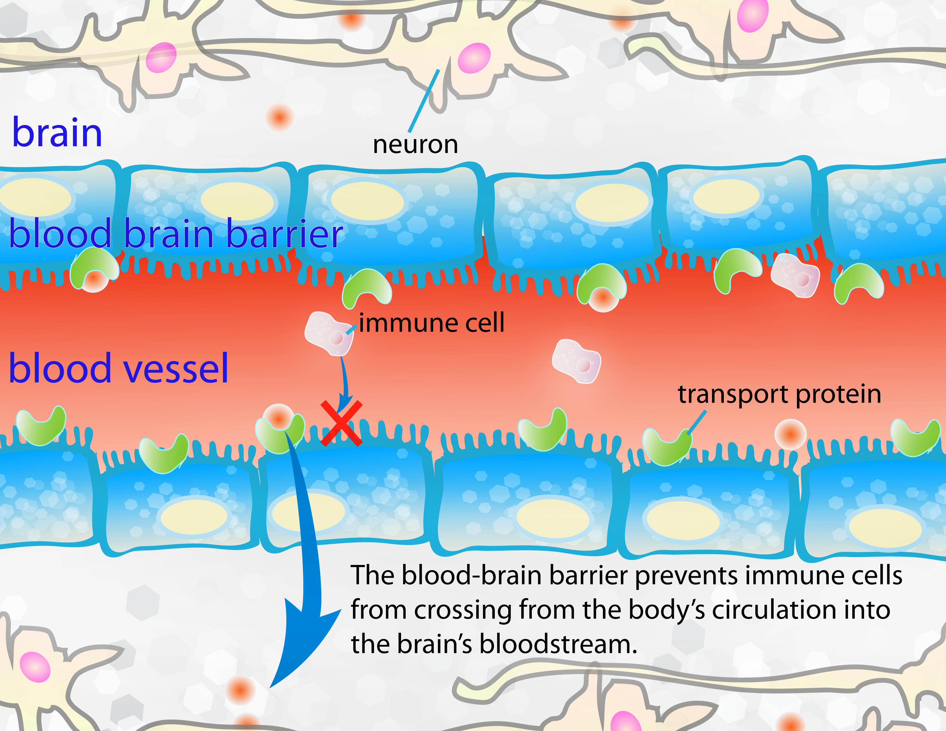 The Immune System And Hd Hopes Huntingtons Disease Information
